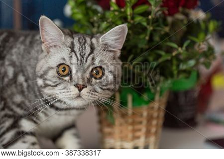 Beautiful And Young Scotsman Cat Near Flowers
