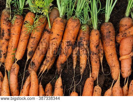 Fresh Carrots Full Of Vitamins Are Dug Out And Laid Out In Even Rows In The Garden Under The Sun To