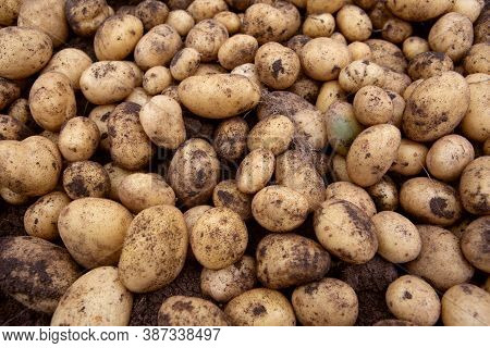 Freshly Dug Farm Potatoes Laid Out In A Pile In The Open Air Under The Sun To Dry Slightly