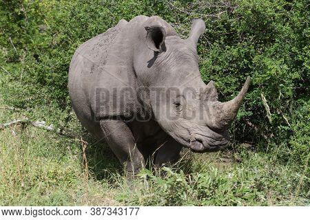 Closeup Head Portrait Of An Endangered Southern White Rhinoceros (ceratotherium Simum Simum) In Krug