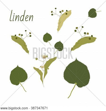 Set Of Linden Trees. Isolated Elements. Leaves, Flowers And Buds Of Linden. Vector Lime Tree