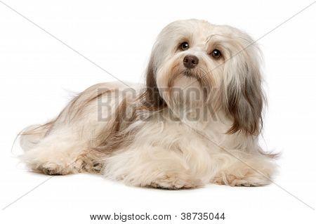 Beautiful Lying Chocolate Havanese Dog