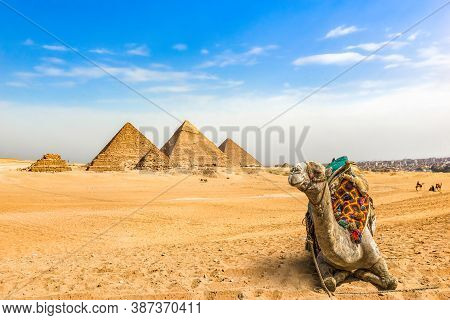 Camel Resting Near Great Pyramids In Desert Of Giza, Egypt
