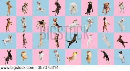 Jumping High. Stylish Adorable Dogs And Cats Posing. Cute Pets Happy. The Various Purebred Puppies A