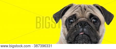 Clumsy Pug looking forward with its tongue sticking out on yellow studio background