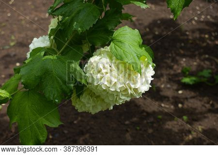 Lily White Inflorescence Of Viburnum Opulus Sterile In May