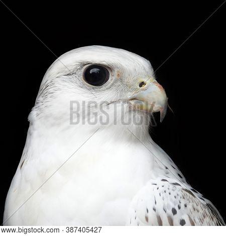Arctic falcon gyrfalcon Falco rusticolus bird of prey