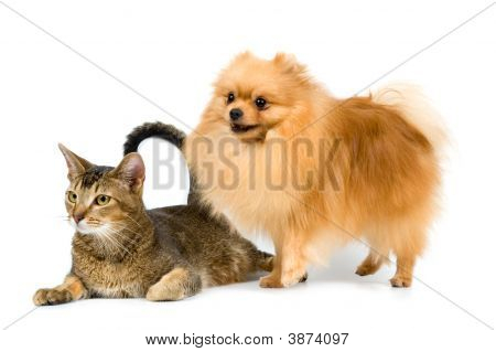 The Spitz-Dog And Cat On A Neutral Background