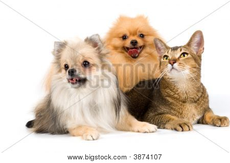 Two Spitz-Dogs And Cat In Studio