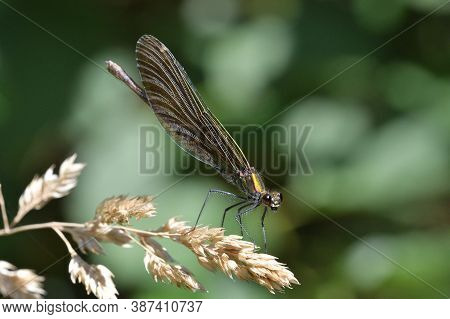 Willow Emerald Damselfly  Lurks For Prey On The Grass By The River