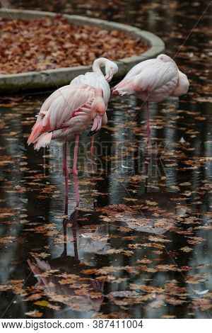 Pink Flamingo At Zoo. Autumn Bird Reflection. Caribbean Or African Exotic Wild Birds Group In Water