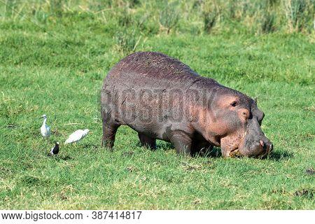 Hippo, Hippopotamus amphibius, grazing in the lush grass of Amboseli, Kenya. A cattle egret, Bubulcus ibis, blacksmith plover, Vanellus armatus and little egret, Egretta garzettacan are alongside