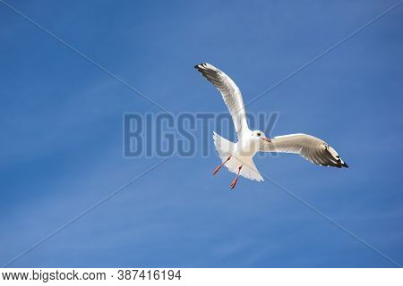 Gull Bird On Background Of Blue Sky. Seagull Sea Bird Flies On Background Of Blue Sky. Gullchick Fli