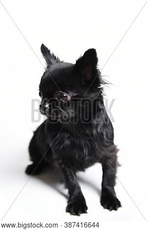 Mammal Black Chihuahua Pet Isolated On White Background