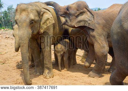 Elephants Family At Pinnawala Elephants Orphanage. Sri Lanka