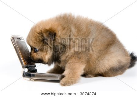 Puppy Of The Spitz-Dog With Phone