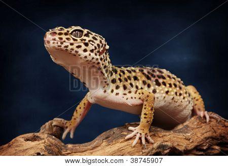 Beautiful gecko