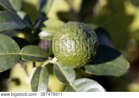 Fruit Of A Kaffir Lime, Citrus Hystrix
