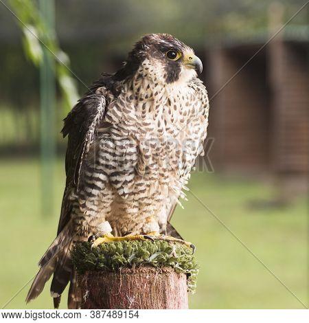 Side View Animal Portrait Of Sitting Falcon Or Hawk Bird Of Prey.