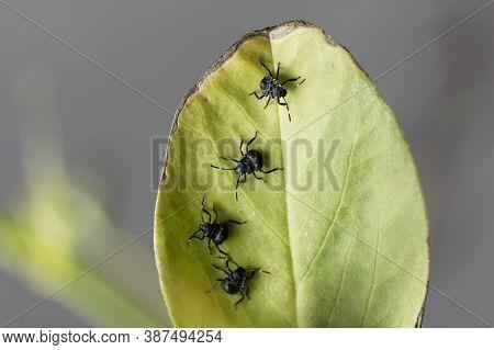 Nymphs Of Brown Marmorated Stink Bugs, Halyomorpha Halys