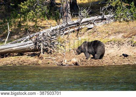 Grizzly Bear With His Buried Bull Elk Carcass He Caught Along The Yellowstone River. Ravens Watch, I