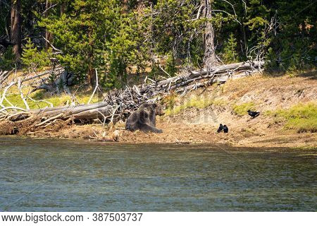 Grizzly Bear Sits On A Buried Bull Elk Carcass He Caught Along The Yellowstone River. Ravens Watch,