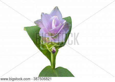 Beautiful Pink Siam Tulip Isolated On White Background With Clipping Path.