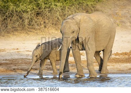 Female Elephant And Her Calf Standing Together Drinking Water In Chobe River In Botswana