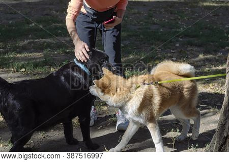 Japanese Akita Inu Puppy Plays With An Adult Black Labrador In Dog Park. 5 Month Old Akita Puppy And