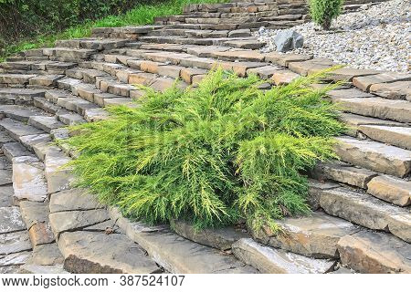 Juniper Medium Gold Kissen - Ornamental Dwarf Conifer For Landscaping. Evergreen Coniferous Plant Ju