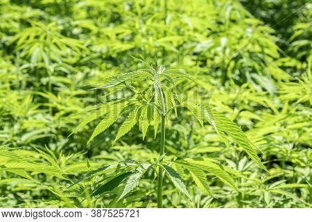 Marijuana Plants At Outdoor - Cannabis Farm Field