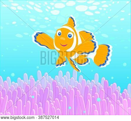 Funny Striped Anemonefish Swimming Among Bright Poisonous Stings Of A Pink Anemone In Blue Water Of