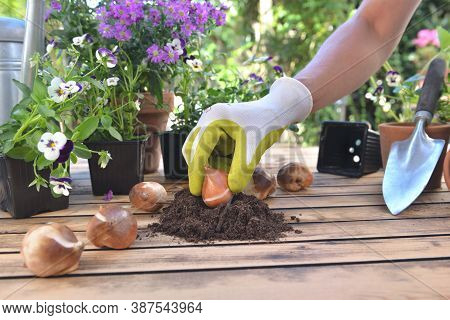 Close On Hand Of Gardener Holding A  Bulb Of Tulip In The Soil On Garden Table