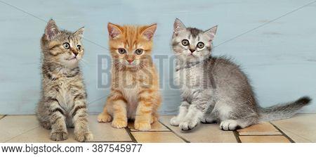 Three British kittens are sitting together. Panoramic image