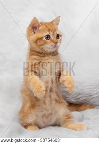 Red little kitten sits on its hind legs