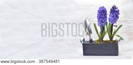 Potted Hyacinth In Box With Shovel On White Background