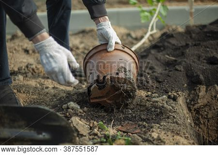 Planting A Plant In The Ground. The Gardener Prepares The Seedling For Burying Into The Soil. Planti