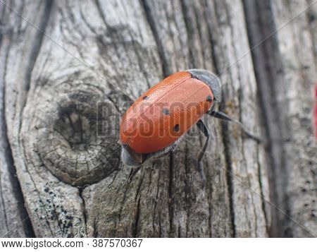 A Close Up View Of A Black And Red Beetle In A Tree Trunk