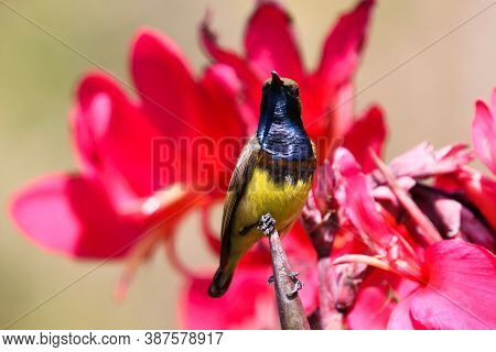 Yellow-bellied Sunbird Closed Up Image Holding On Red Canna Flowers With Daylight In The Garden Back
