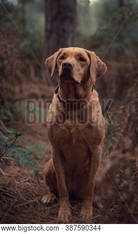 A Pet Portrait Of A Working Labrador Retriever Gun Dog Looking Healthy And Active During A Countrysi