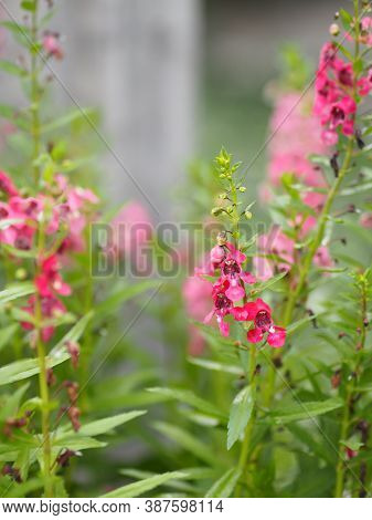 Forget Me Not Pink Flower Blooming In Garden On Blurred Nature Background
