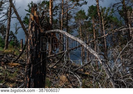 Fibrous Red Splintered Black Soot Trunk Of Tree Stump After Fire. Dry Branches. Baikal Pine Forest