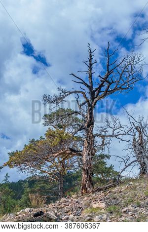 Beautiful Twisted Crooked Dry Dead Tree After Fire On Slope Of Mountain. Black With Soot Textured Ba