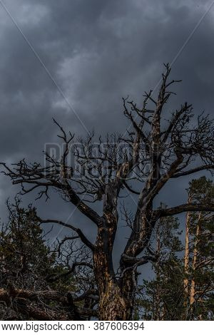 Beautiful Twisted Crooked Dry Dead Tree After Fire. Red Black With Soot Textured Trunks. Cloudy Sky
