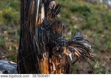 Fibrous Red Splintered Black Soot Trunk Of Tree Stump After Fire, Baikal