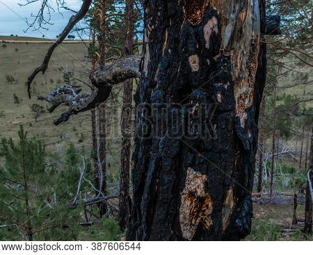 Fibrous Red Splintered Black Soot Trunk Of Tree After Fire. Dry Branches. Baikal Lake Coastline