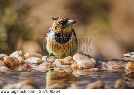 Crested Barbet Standing In Waterhole In Kruger National Park, South Africa ; Specie Trachyphonus Vai