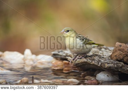 Village Weaver Female In Water Pond In Kruger National Park, South Africa ; Specie Ploceus Cucullatu
