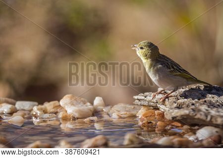 Village Weaver In Kruger National Park, South Africa ; Specie Ploceus Cucullatus Family Of Ploceidae