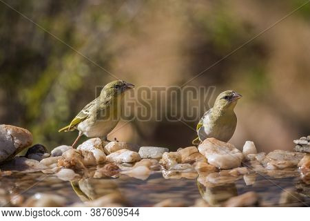 Two Village Weavers Standing In Waterhole In Kruger National Park, South Africa ; Specie Ploceus Cuc